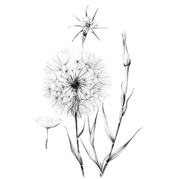 Dandelion Sketch Wild Flower Clipart Hygge Line Drawing Etsy In 2020 Dandelion Tattoo Design Wildflower Drawing Flower Sketches