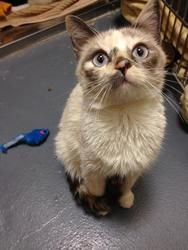 Adopt Lucy And Lily On Petfinder Cat Rescue Kittens Siamese Cats