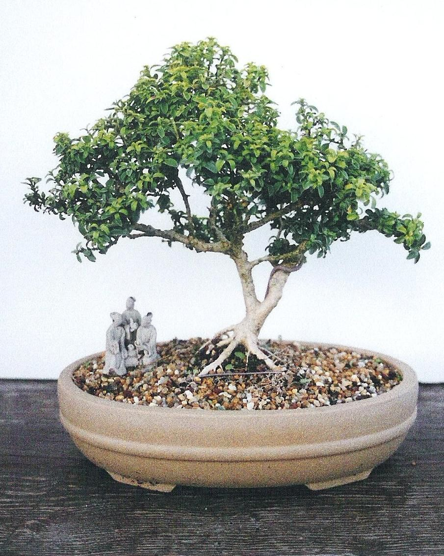 Bonsai Tree 20 Amazing Japanese Maple Bonsai For Sale Images 25 Awesome Cherry Blossom Bonsai Tree For Sale As We Do Hope You Love Keeping Here On Bonsai Tre