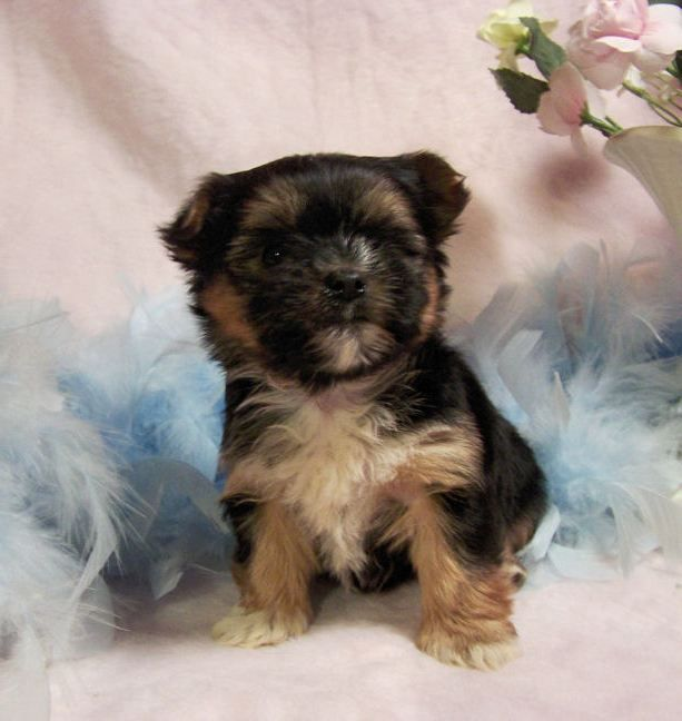 Maltese Puppies Brown And Black Zoe Fans Blog Morkie Puppies