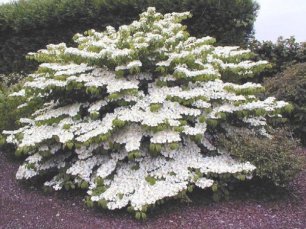 comment planter viburnum plicatum