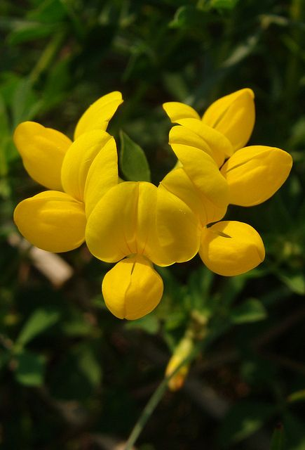Yellow vetch flowers from the nature notes of an edwardian lady yellow vetch mightylinksfo