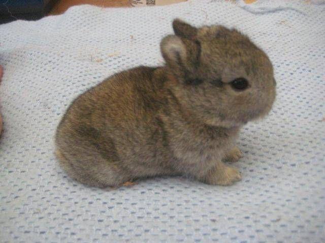 Baby Netherland Dwarf Bunnies/Rabbits | Bunny Rabbits ...