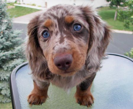 Merle Blue Eyed Long Haired Dachshund How Sweet Is That Face