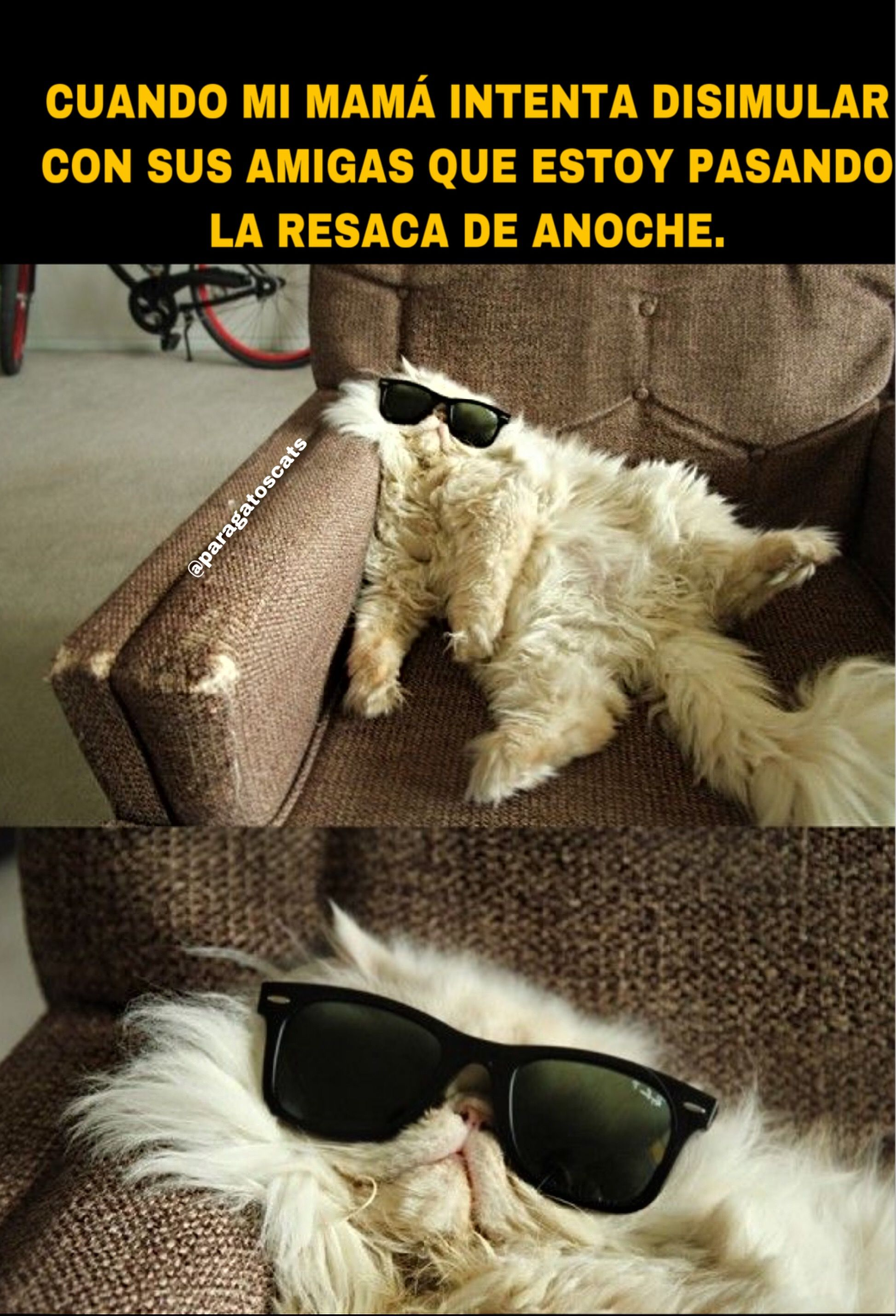 Gato Flojo Gato Con Gafas Memes De Gatos Resaca Cat Memes Memes Humor