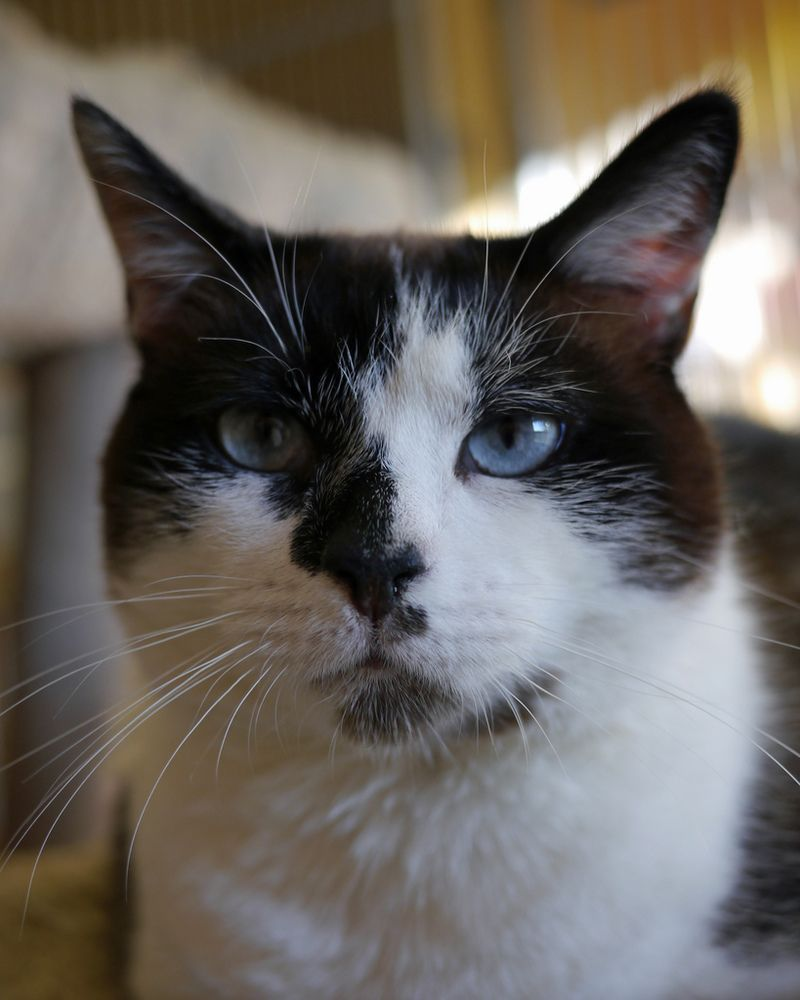 Adopt Aspen On Cat Adoption Beautiful Cats Cats And Kittens