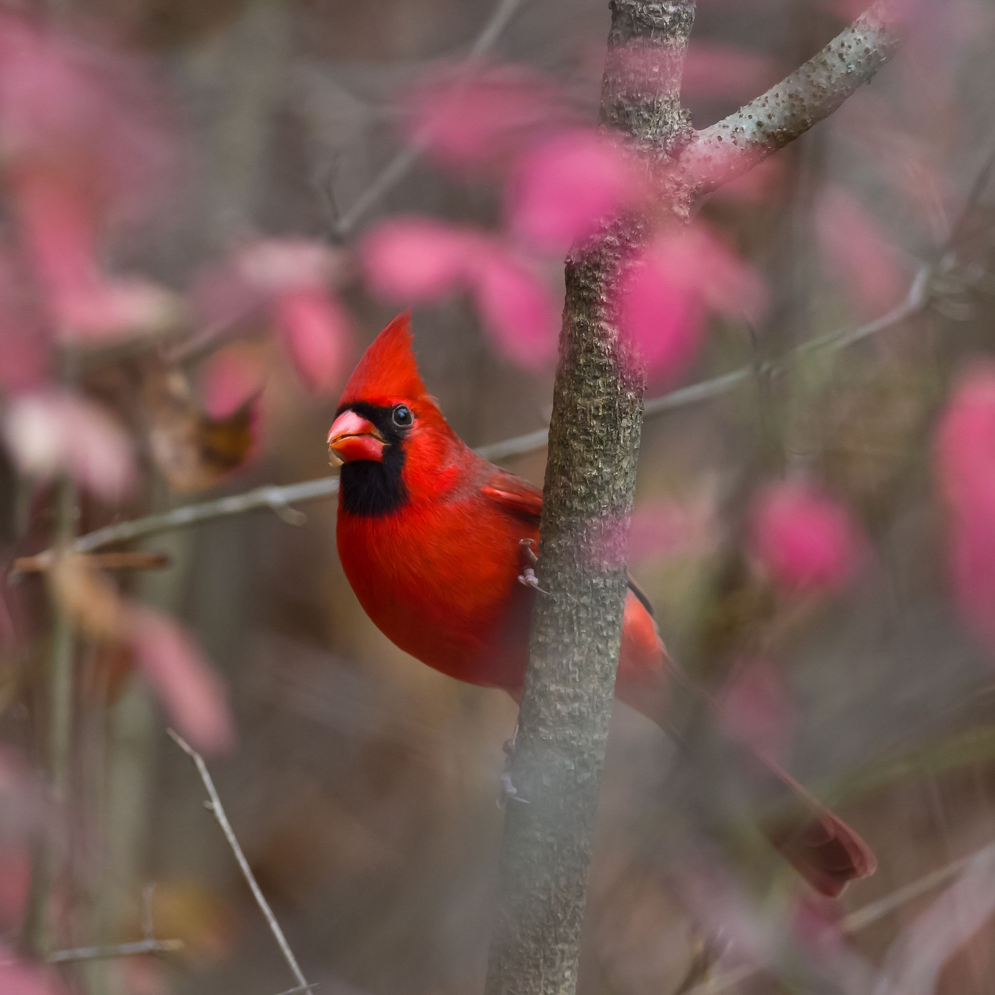 Northern Cardinal (With images) Nature animals, Northern