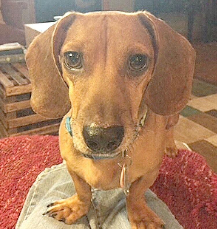 Adopt OSCAR MAYER on Dachshund, Dachshund adoption, Pets