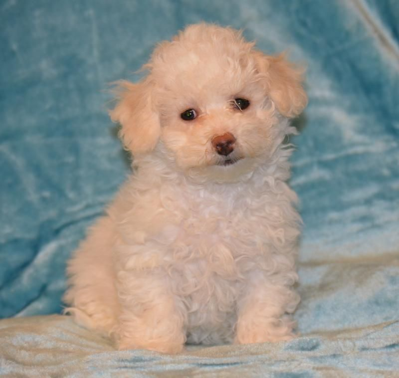 Poochon Puppy Designer And Cross Breed Puppies For Sale