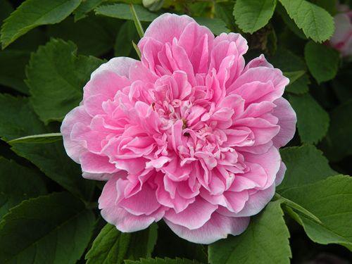 mökinruusu-Rosa majalis 'Foecundissima'
