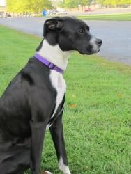 Lady Shadow Is An Adoptable Boxer Dog In Fennville Mi Shadow Is A Pretty And Sweet Boxer Lab Mix She Has A Beauti Boxer Dogs Boxer Lab Mixes The Perfect Dog