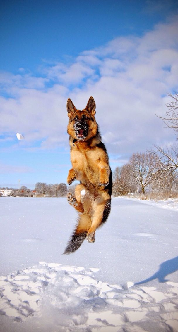 this snowy GSD