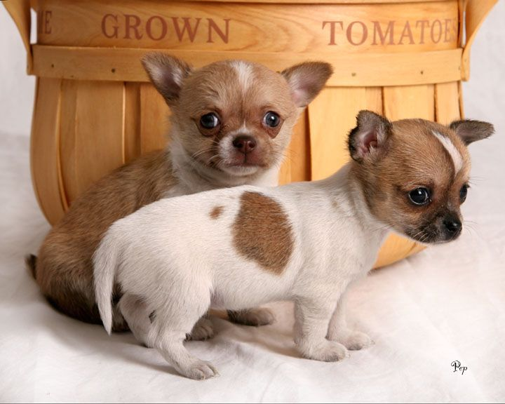Chihuahua Puppy And Dog Breed Information Pets Dogs Breeds