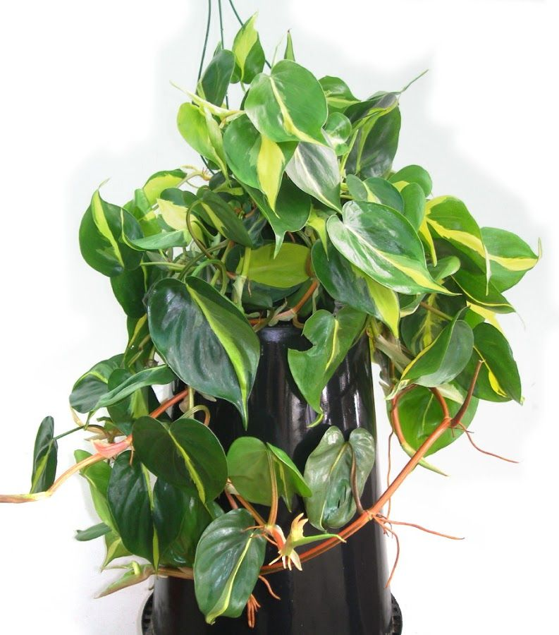 Philodendron scandens 'Brasil' | Verdes | Pinterest