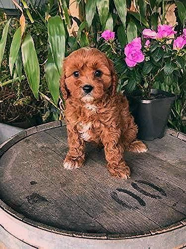 Puppies Cavoodle