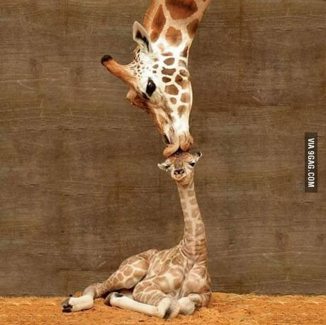 A giraffe named Misha kissing her newborn baby calf