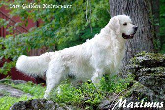 White Golden Retriever Puppies Cream Akc Certified Nj Breeders Md