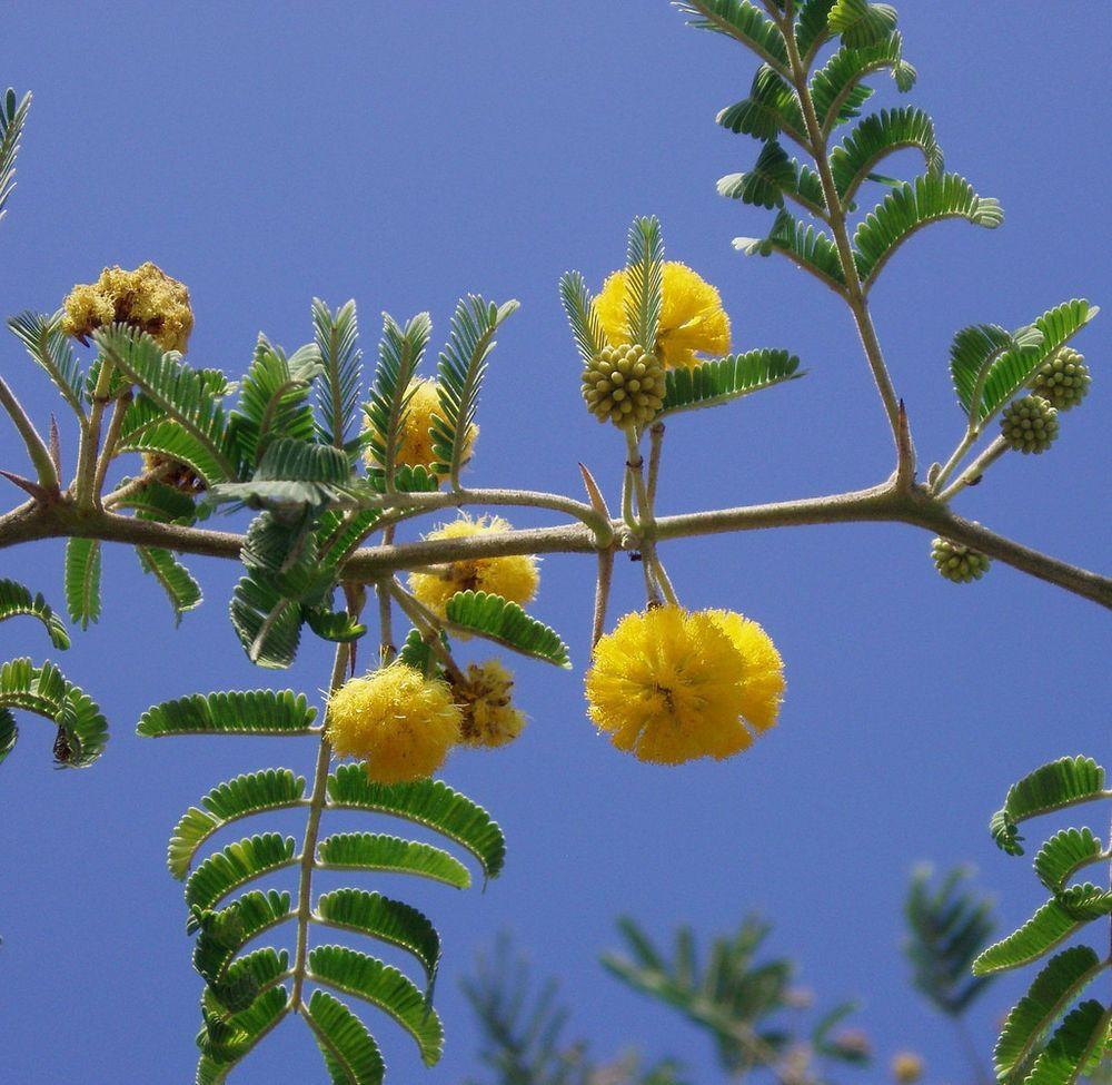 Acacia Farnesiana Vachellia Rare Mimosa Tree Bonsai Aroma Bush Seed 20 Seeds Mimosa Tree Flowering Trees Mimosa Flower
