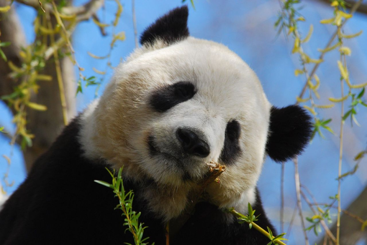 211 best panda love images on pinterest animals giant pandas