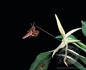 Morgan S Sphinx Xanthopan Morgani Moth Uses Long Tongue Specifically Adapted To Pollinate And Feed At Comet Orchid A Pollination Passion Fruit Plant Orchids