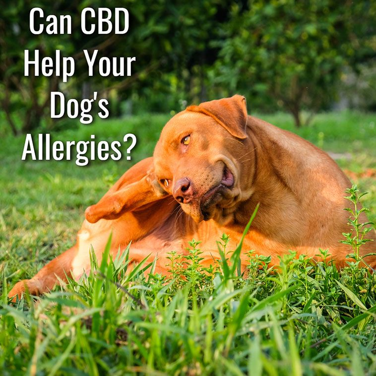 Can CBD Help With Dog Allergies Pet allergies, Allergies