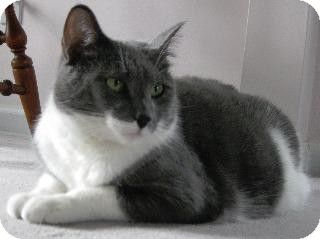 Fenton Mo Domestic Shorthair Meet Tom A Cat For Adoption Grey White Cat Pets Cats