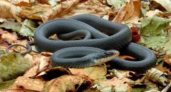 Top 10 Cobras Mais Venenosas Do Mundo Terrestre Mamba Negra