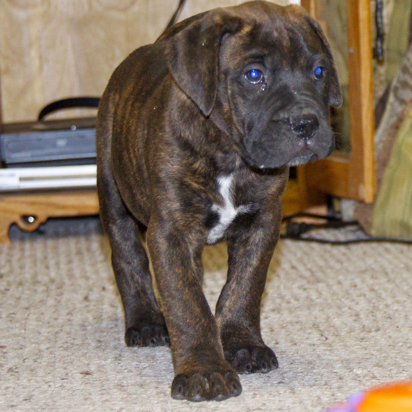 Ol Blue Eyes Bullmastiff Puppies Puppy Dogs H U M L N