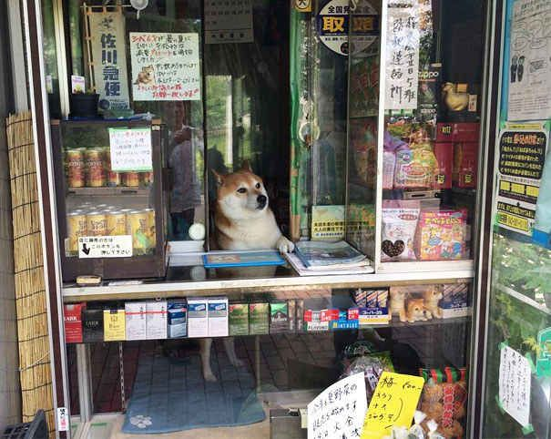 "This Shiba Inu lives and is ""employed"" at a little cigarette shop in Japan."