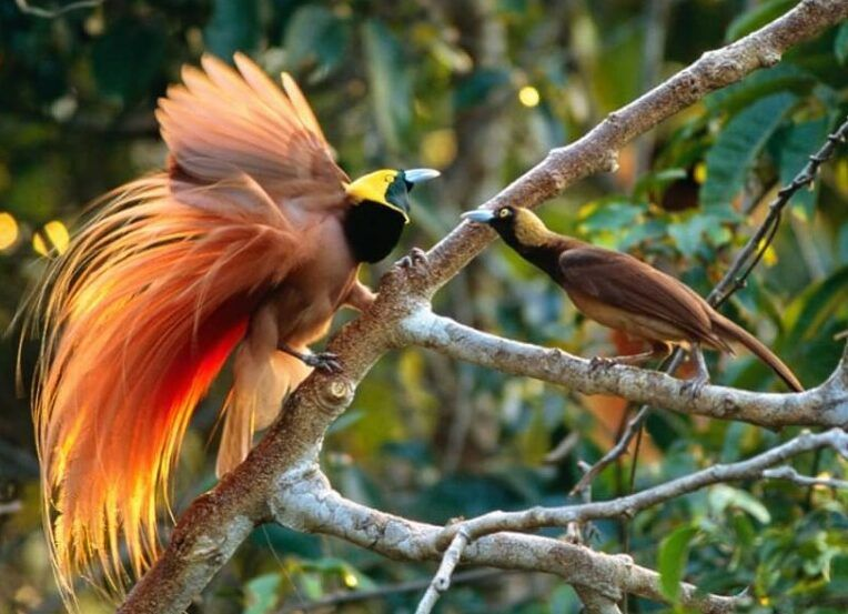 Kamu Tentu Pernah Mendengar Atau Melihat Foto Dari Burung Cendrawasih Bukan Dengan Kecantikannya Burung Ini Menjadi Ung Burung Berburu Burung Makanan Burung