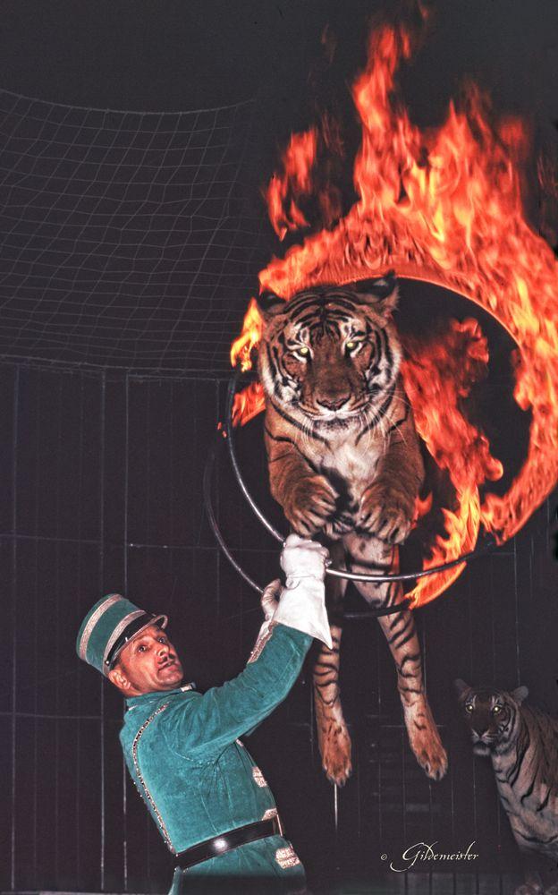 man with tiger 1958. please stop the abuse of circus animals by boycotting current circuses that use animals in their acts