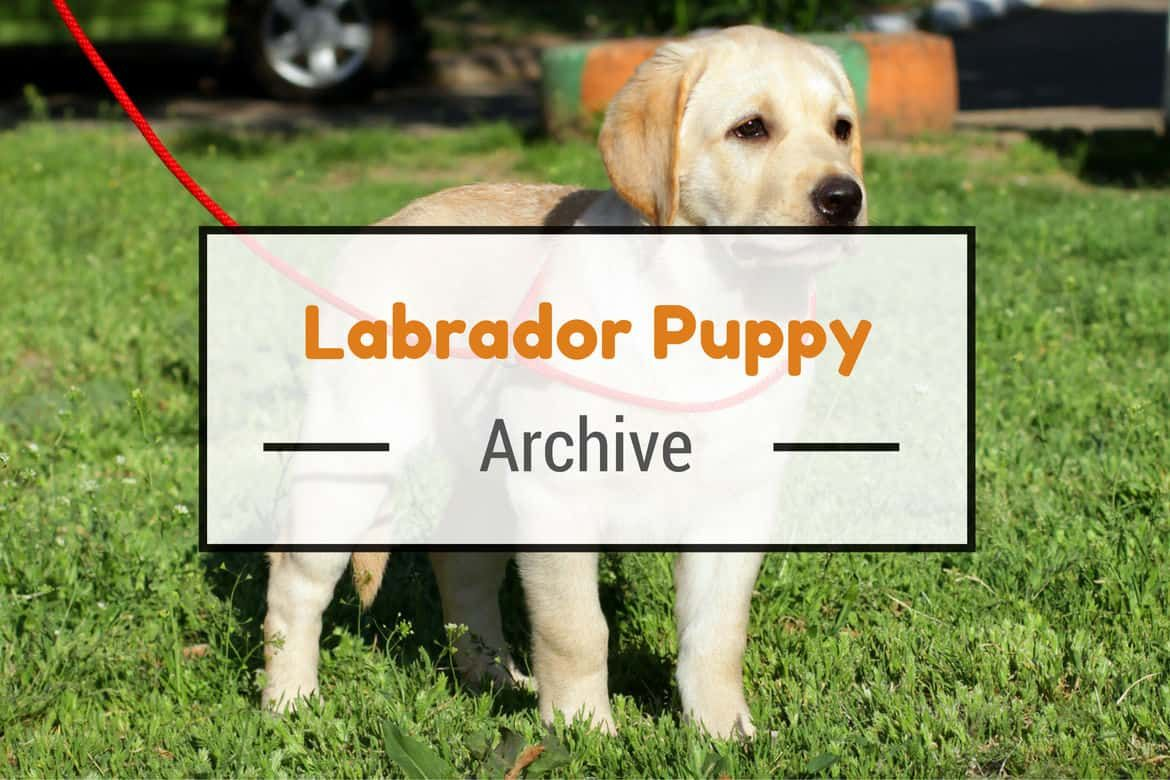 Labrador Puppies Care, Health and Training [FREE Guide