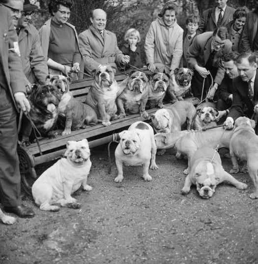 bulldog race in Regent's Park, April 24 1966. London