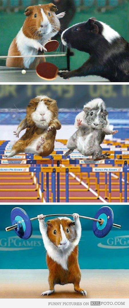 Guinea Pig Olympics Funny Guinea Pigs As Olympic Athletes At The Olympics Running Hurdle Race Playing Ping Pong And Doing Weightlifting Funny Pinterest