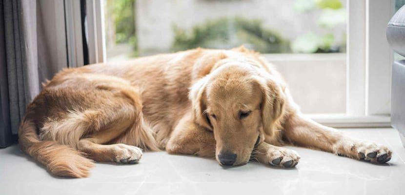 El Dolor De Estómago En El Perro Síntomas Y Tratamiento Animales únicos Perros Animal Doméstico