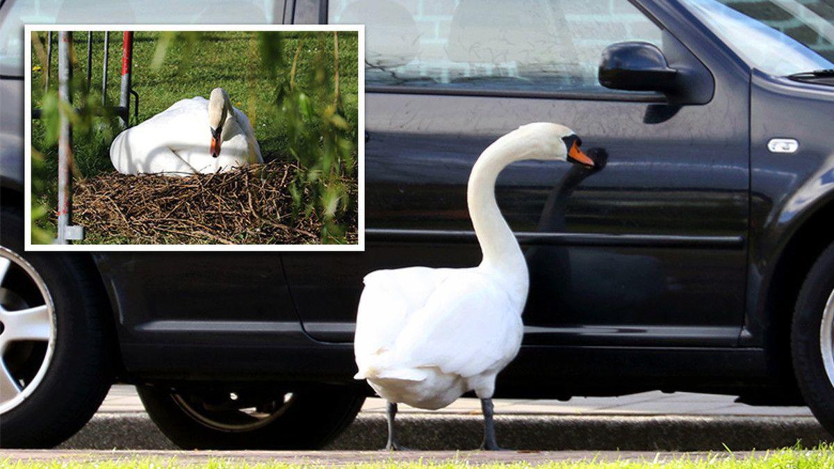NH | VIDEO: Overspelige zwaan verklaart liefde aan geparkeerde auto