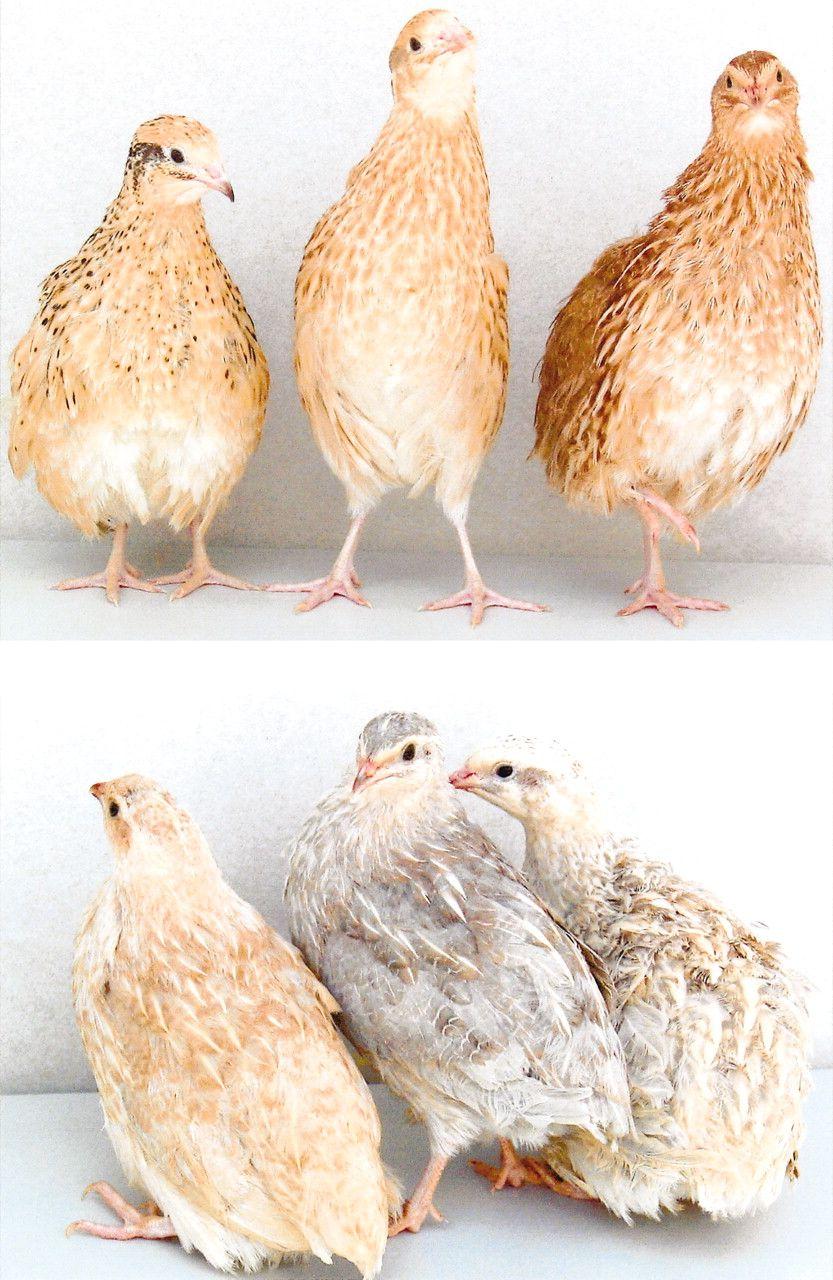 Coturnix Quail Barnyard Geese, Ducks, Turkeys, etc