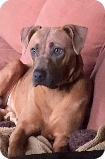 Breaux Bridge, LA - Boxer/Rhodesian Ridgeback Mix. Meet Dakota, a dog for adoption. http://www.adoptapet.com/pet/12067306-breaux-bridge-louisiana-boxer-mix