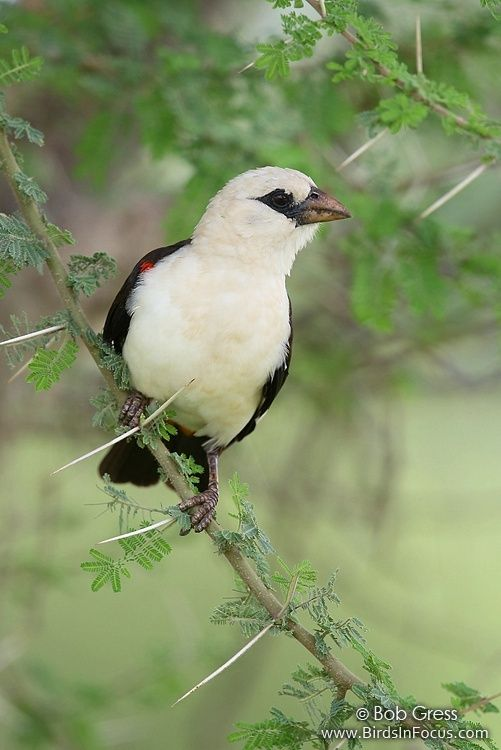 White-headed Buffalo-Weaver, a common Weaver of Semi-arid Acacia bush country in Kenya