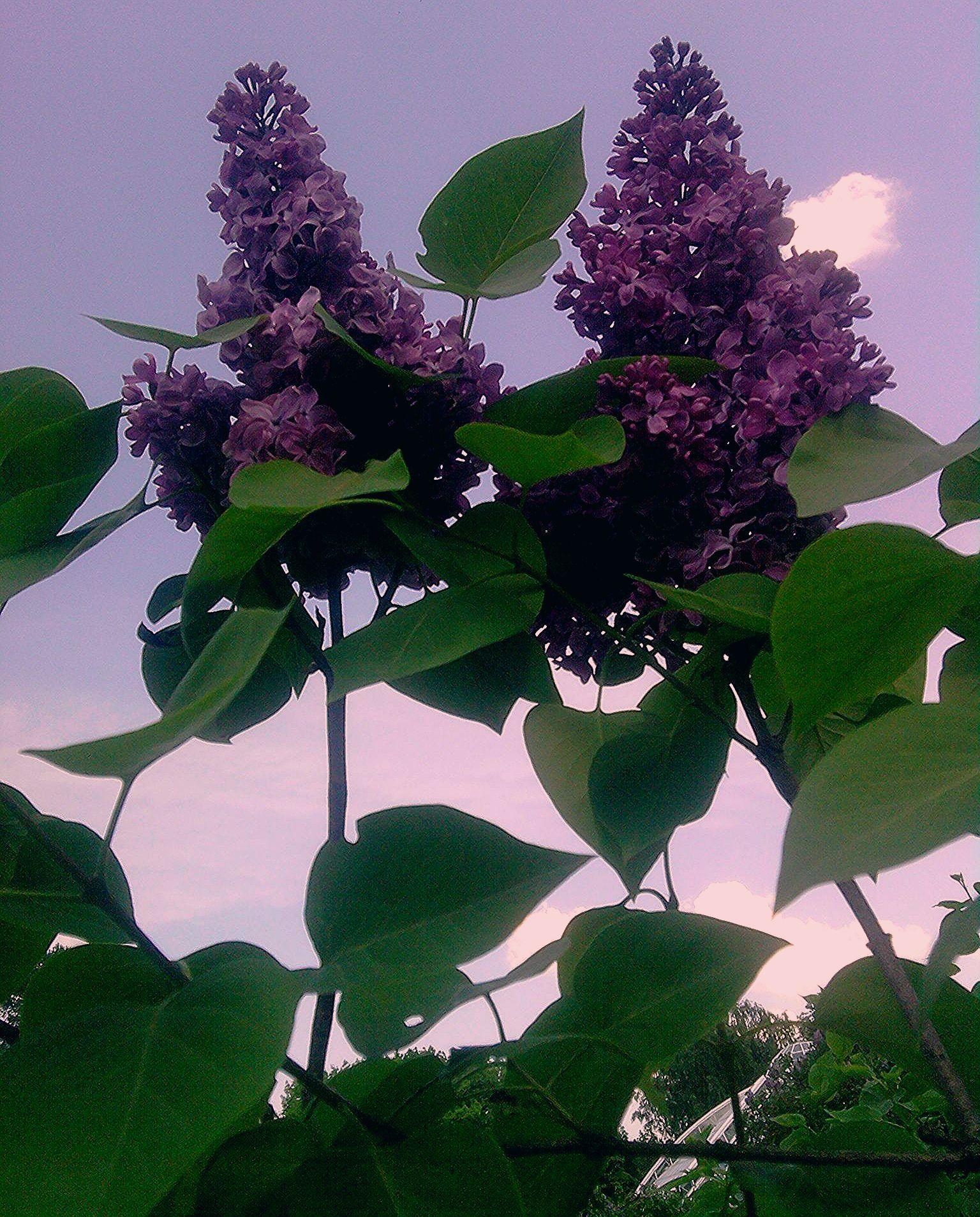 Бэз (lilac) у квецені Bulb flowers, Air plant terrarium