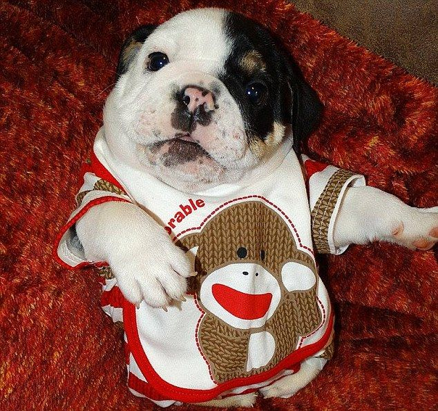 Bulldog Puppy S Genetic Conditions Have Left Him With No Bottom