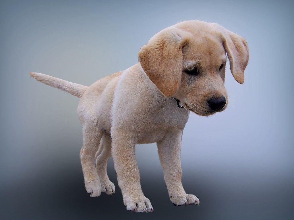 Dog Puppy Animal Cute Photoshop Wallpaper Labrador Puppy Labrador Retriever Labrador Dog