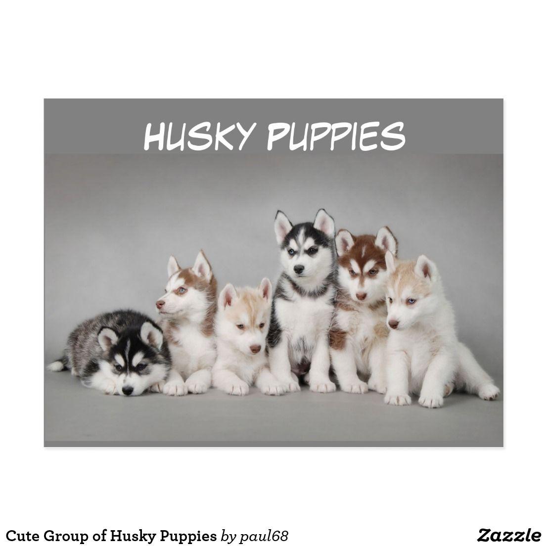 Cute Group Of Husky Puppies Postcard Zazzle Com Puppies Husky