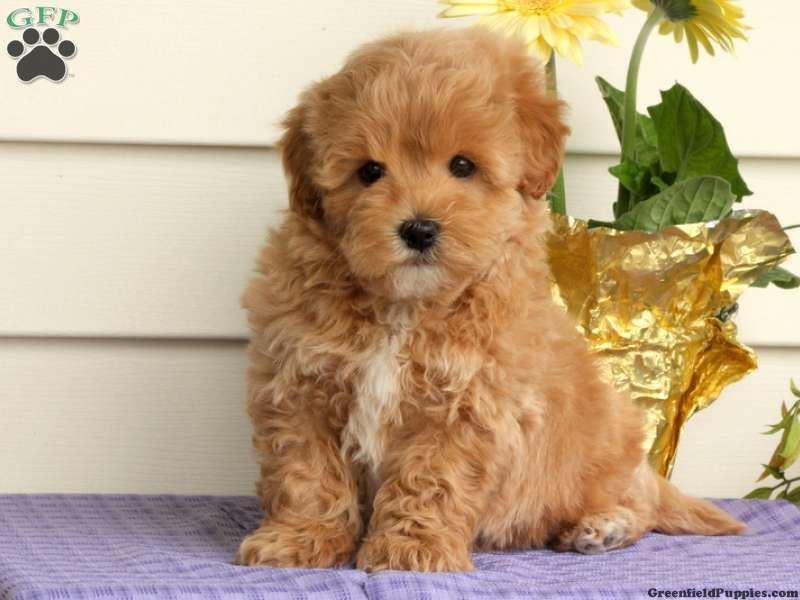 Diffy Maltipoo Puppy For Sale In Pennsylvania Maltipoo Puppies