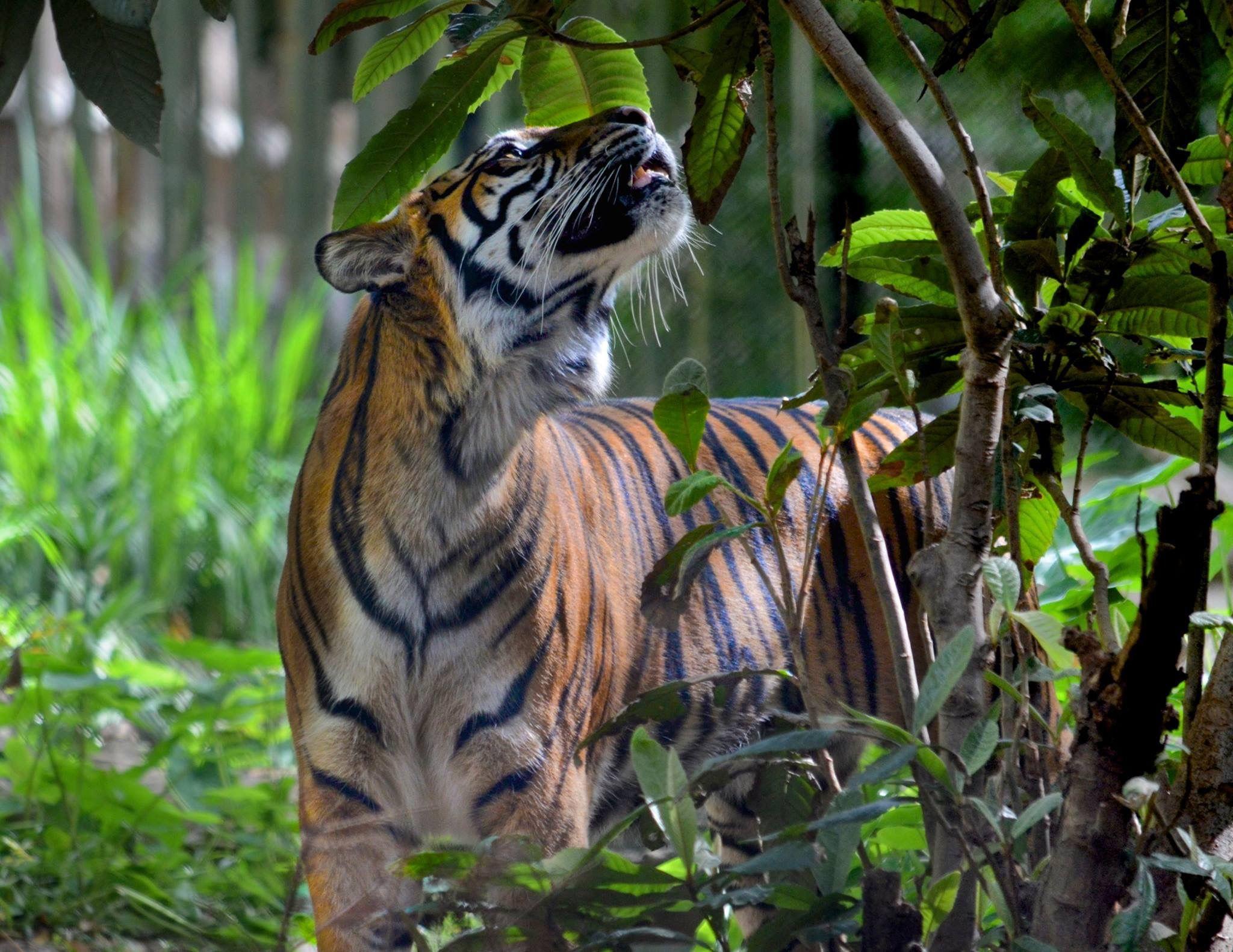 Pin by Shelley Benz on Wildlife Wildlife, Animals, Tiger