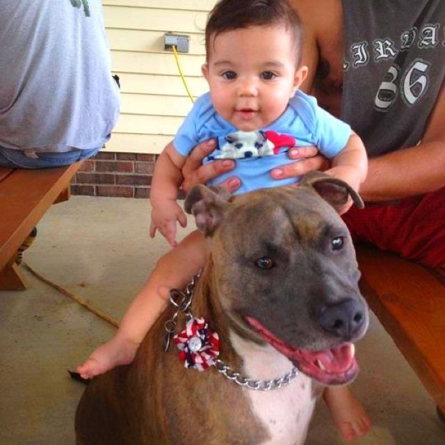 And People Try To Say Pitbulls Aren T