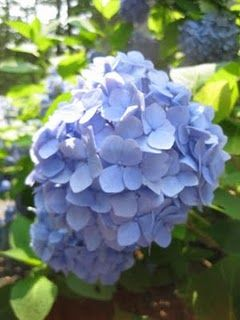 ...steal some hydrangeas for the yard...& how to grow them from mere cuttings...