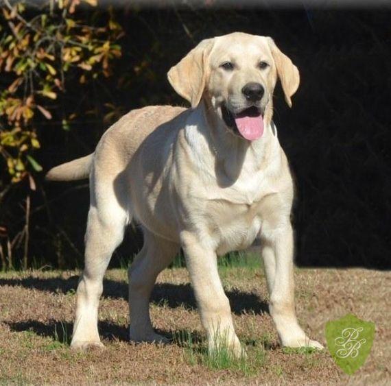 Puppies For Sale Florida Labrador Breeders With Images Puppies For Sale Retriever Puppy Puppies
