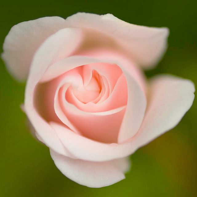 foto de 'Sunday Rose' flowers Pinterest Sunday rose Flowers and Gardens