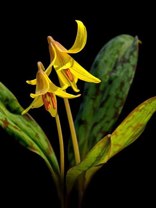 Trout Lilies By Carolyn Derstine